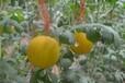 田园之春优质袖珍小西瓜苗低价批发厂家直销种苗种植技术