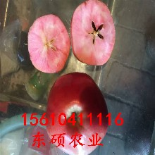 山东红肉苹果苗种植基地优质矮化红肉苹果苗价格现货直销