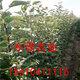 119-06红肉苹果 (3)