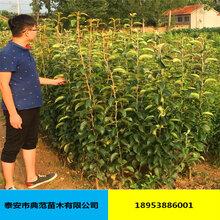 晚秋黄梨苗价格低价发售纯种优质晚秋黄梨苗