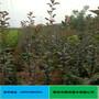 全红梨树苗价格品种纯正成活率高优质全红梨树苗图片