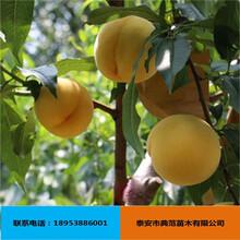 黄金蜜桃树苗批发供应山东桃树苗基地直供价格实惠黄金蜜桃苗