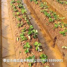 小白草莓苗價格小白草莓苗多少錢一棵