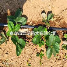 小白草莓苗品種介紹、今年小白草莓苗多少錢一棵