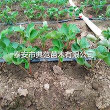小白草莓苗、小白草莓苗批發價格多少錢