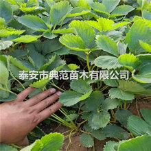 小白草莓苗價格山東小白草莓苗基地