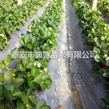 小白草莓苗多少錢