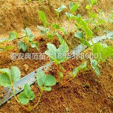 小白草莓苗價格多少錢小白草莓苗品種介紹