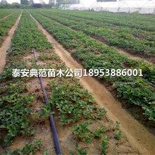 2019年小白草莓苗價格小白草莓苗多少錢一棵