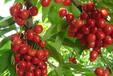 樱桃果粉浓缩粉药食同源提取物固体饮料压片糖果代加工