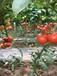 山东莘县九月以色列大红西红柿硬果番茄大量上市产地直销量大从优