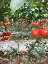 山東莘縣九月以色列大紅西紅柿硬果番茄大量上市產地直銷量大從優圖片