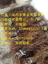 牡丹江出售占地苗、鸡西果树苗、佳木斯葡萄苗、双鸭山枸杞苗