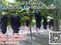 徐州夏黑葡萄产地批发夏黑葡萄种植园批发图片