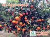 世纪红柑橘大分苗