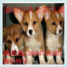 四川成都两色三色柯基犬价格哪有卖纯种柯基犬图片