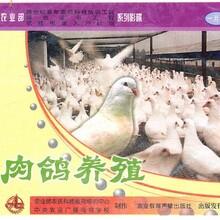 養鴿子養殖技術大全視頻教程資料鴿子怎么養繁殖快肉鴿養殖視頻圖片