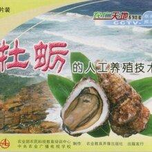 贝类牡蛎养殖技术视频大全青蛤蛏子怎么养殖文蛤泥蚶花甲养殖技术图片