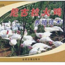 火雞養殖技術視頻教程小火雞飼養方法尼古拉火雞養殖技術大全資料圖片