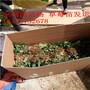 香蕉草莓苗2016年新价格出售10万二代香蕉草莓苗图片