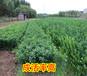 贵港哪里有脐橙苗供应