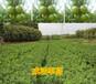 贺州哪里有皇帝贡柑苗出售