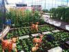 成都尚鼎丰空中菜园让您吃上放心蔬柴的同时体验种植乐趣