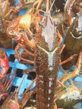 温州小龙虾多少钱一斤