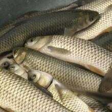 草鱼苗养殖技术天津哪里购买鱼苗