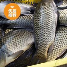 山西鱼苗批发大同1两-1斤鲤鱼鱼苗出售价格山西鱼苗批发