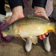 出售鲤鱼鱼苗养殖批发