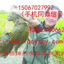 利用甲鱼诱捕剂捕捉甲鱼的方法