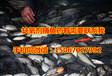 化学捕鱼法缺氧剂捕鱼药