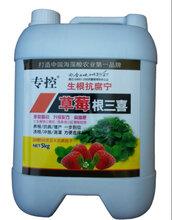 草莓红中柱烂根沤根根腐病好农药返苗快生根快炭疽病好产品