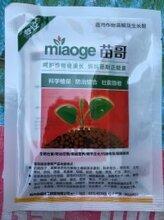 草莓苗叶片发黑生根慢怎么办?草莓定植后生长缓慢、不生新根