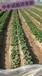 防治草莓苗炭疽病叶斑病辣椒西瓜炭疽病专用杀菌剂