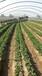 草莓移栽后黑根红根烂根沤根死苗、根系弱小不生新根特效药