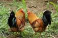 廣西土雞母雞認養小程序商城,歡迎農場/養雞場入駐銷售農產品