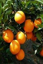 秭归脐橙产地批发