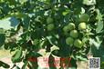 冠核一号核桃苗,种植户的首选冠核一号--淄博冠核农业开发农业开发有限公司
