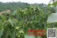 安徽丘陵地区(芜湖)适合种什么经济型中草药和果树(水果)?