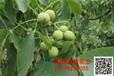 出售优质核桃苗,三年核桃树,四年核桃树,核桃树价格
