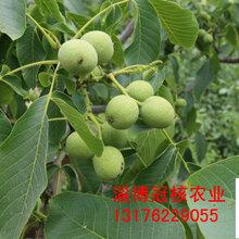 出售优质核桃苗,三年核桃树,四年核桃树,核桃树价格图片
