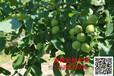 种植核桃树不结果是什么原因?怎么提高产量一三一七六二二九零五五