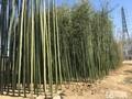 北京竹子种植基地批发种植竹子春季适合移栽好养活耐寒图片