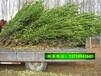 北京北海道黄杨种植方法批发价格绿化带绿篱苗木基地