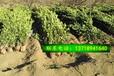 北海道黄杨价格北海道绿篱植物篱笆墙北京天津送货上门
