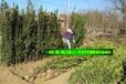 北海道黄杨大叶黄杨绿化苗木批发春季适合种植移栽好养活