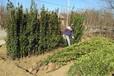 北京哪里有黄杨种植基地批发卖北海道黄杨大叶黄杨价格低成活率高绿化专用