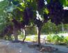 偃师市缑氏唐僧寺品尚葡萄批发种植基地-优质巨峰、夏黑、茉莉香、巨玫瑰、摩尔多瓦葡萄等